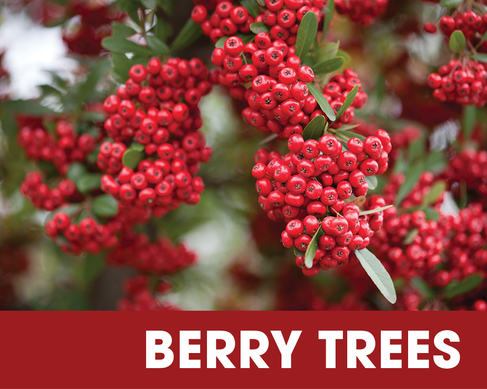 Plant of the Moment October - Berry Trees