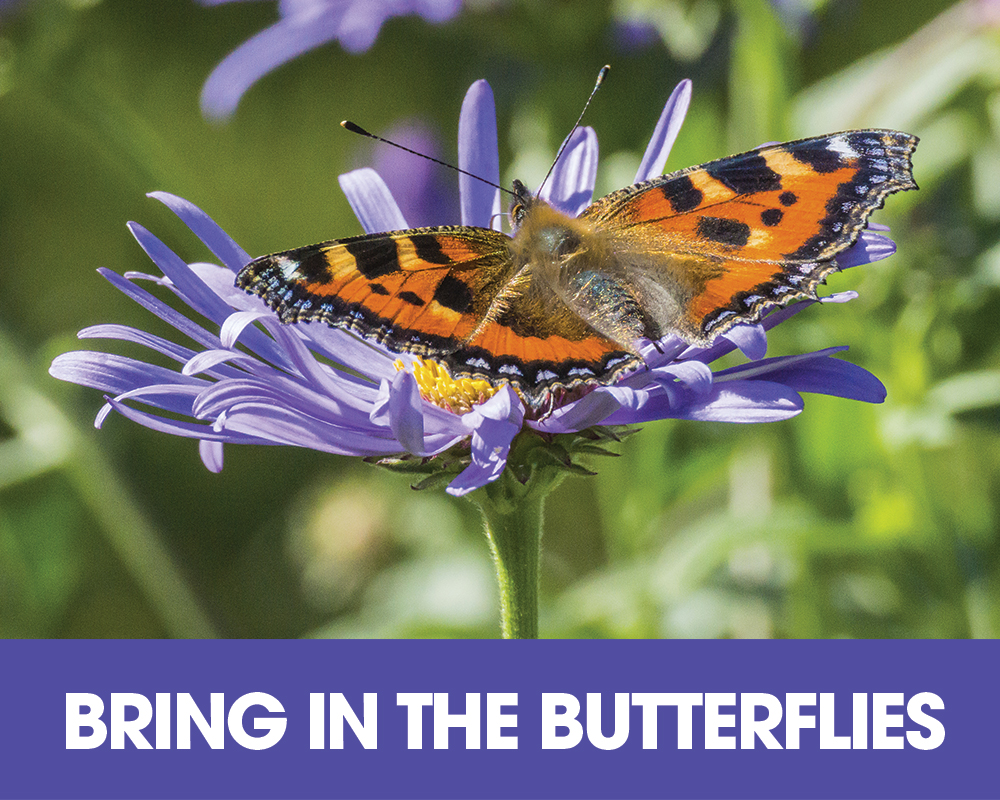Plant of the Moment July - Bring in the Butterflies