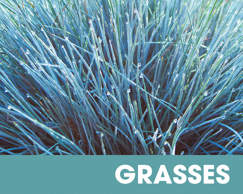 Plant of the Moment August - Grasses