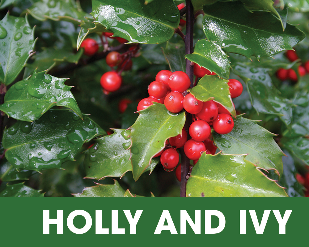 Plant of the Moment December - Holly and Ivy