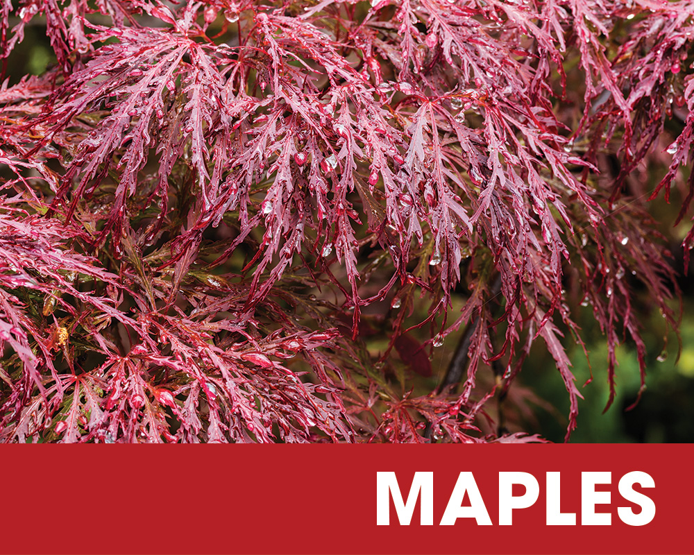Plant of the Moment April - Maples