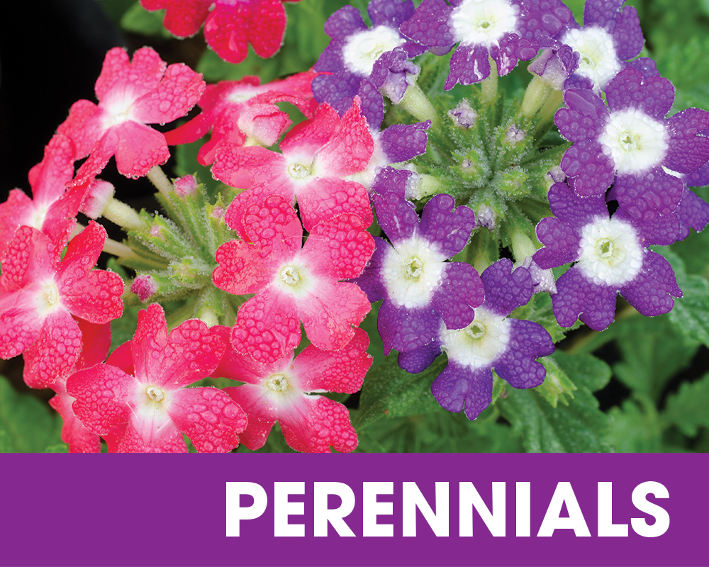Plant f the Moment September - Perennials