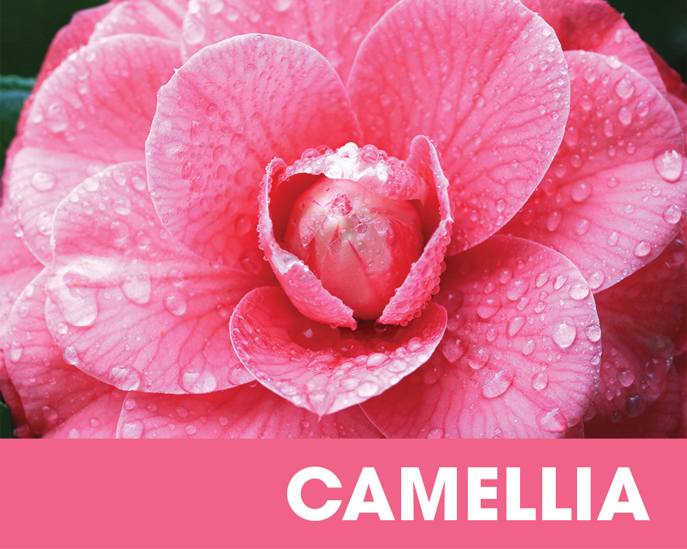 Plant of the Moment February - Camellia