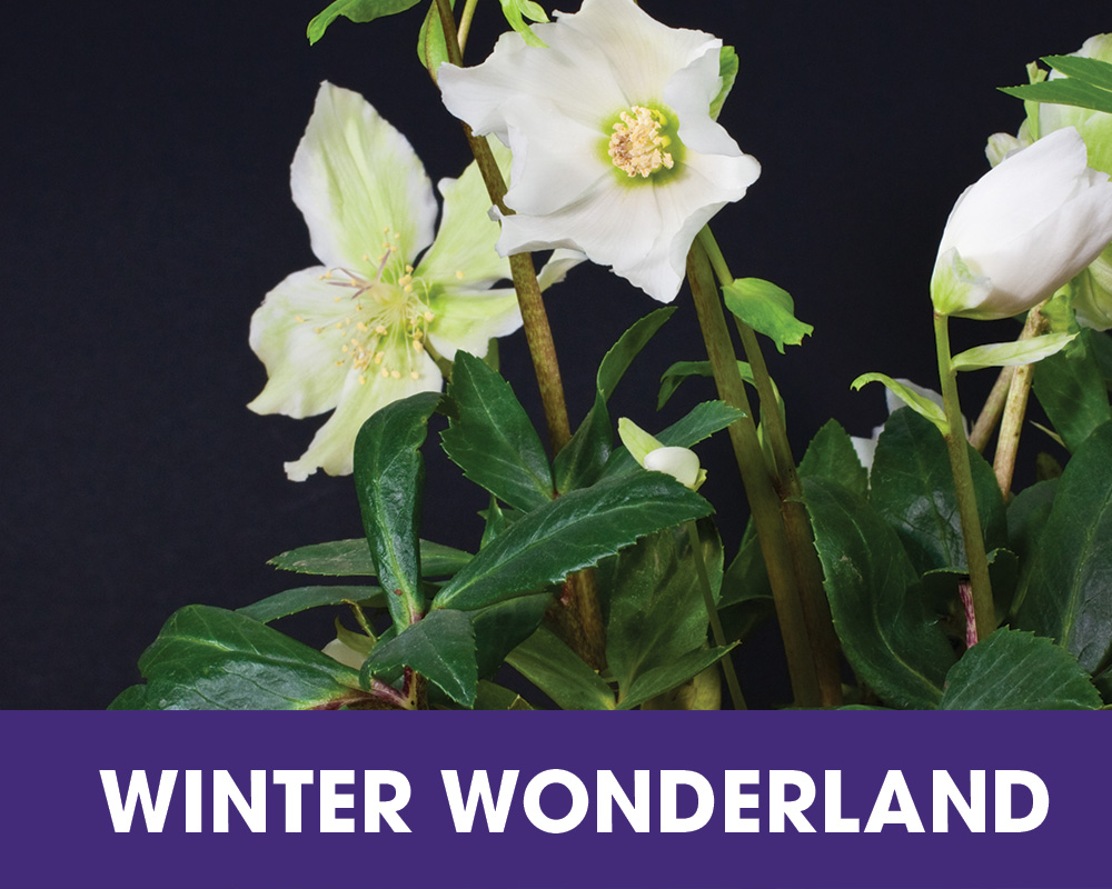 Plant of the Moment January - Winter Wonderland